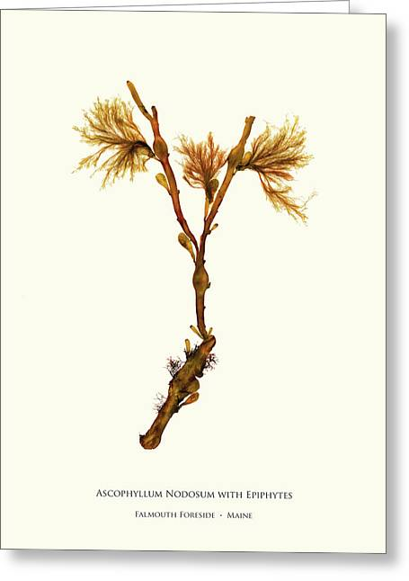 Pressed Seaweed Print, Ascophyllum Nodosum With Epiphytes, Falmouth Foreside, Maine. Greeting Card