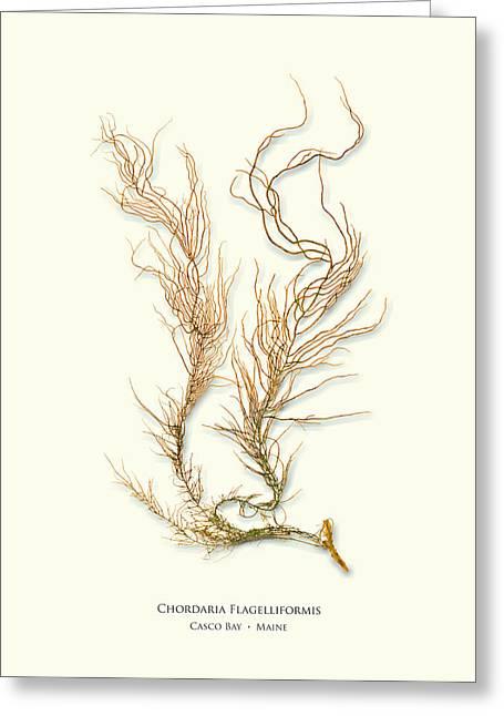 Pressed Seaweed Print, Chordaria Flagelliformis, Casco Bay, Maine. Greeting Card
