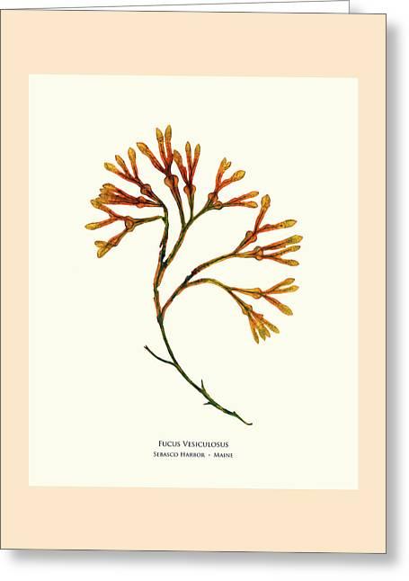 Pressed Seaweed Print, Fucus Vesiculosus, Sebasco Harbor, Maine Greeting Card