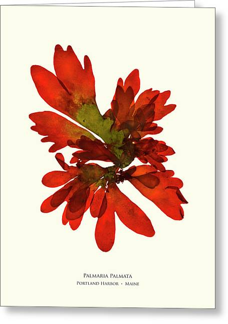 Pressed Seaweed Print, Palmaria Palmata, Portland Harbor, Maine.  #28 Greeting Card