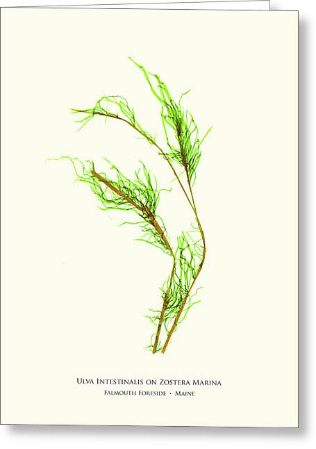 Pressed Seaweed Print, Ulva Intestinalis On Zostera Marina, Falmouth Foreside, Maine. Greeting Card by John Ewen