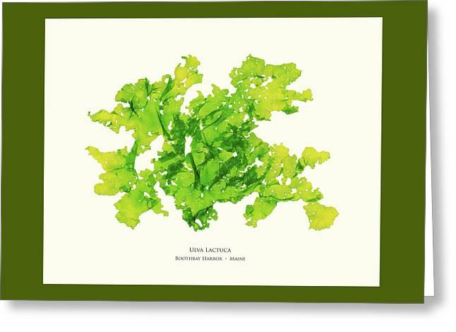 Pressed Seaweed Print, Ulva Lactuca, Boothbay Harbor, Maine. #33 Greeting Card
