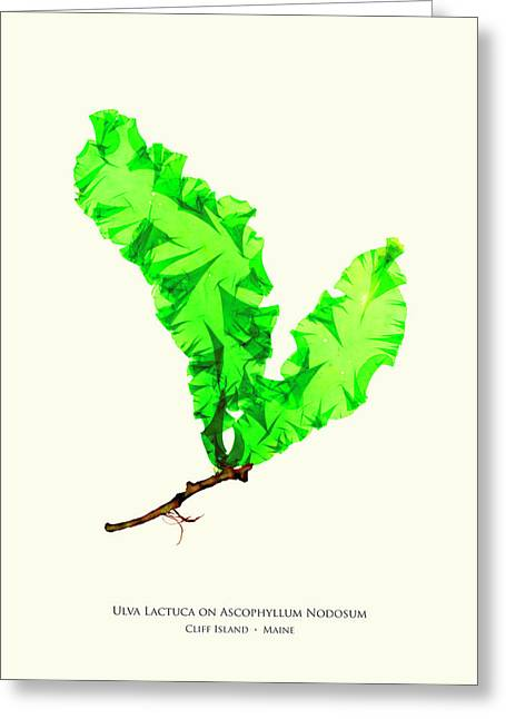 Pressed Seaweed Print, Ulva Lactuca On Ascophyllum Nodosum, Cliff Island, Maine Greeting Card