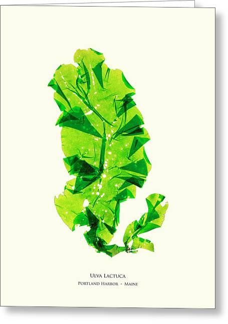 Pressed Seaweed Print, Ulva Lactuca, Portland Harbor, Maine.  #26 Greeting Card