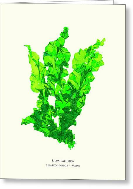 Pressed Seaweed Print, Ulva Lactuca, Sebasco Harbor, Maine. #30 Greeting Card