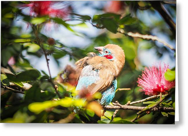 Red Cheeked Cordon Bleu Finch Greeting Card