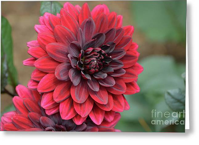 Pretty Blooming Red Dahlia Flower Blossom Greeting Card