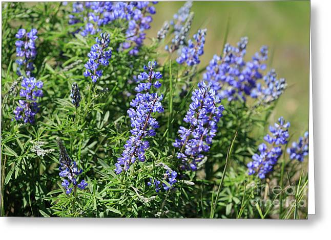 Pretty Blue Flowers Of Silky Lupine Greeting Card by Louise Heusinkveld