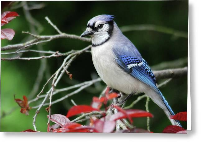 Pretty Blue Jay Greeting Card