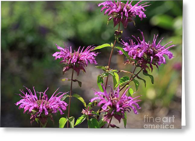 Pretty Flower Bee Balm Peters Purple Greeting Card by Louise Heusinkveld