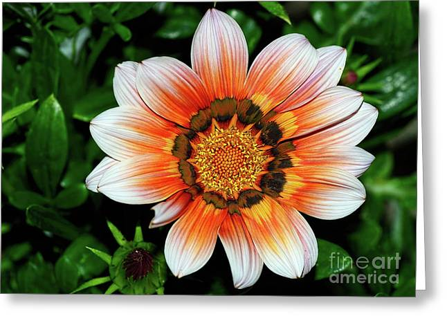 Greeting Card featuring the photograph Pretty Gazania By Kaye Menner by Kaye Menner