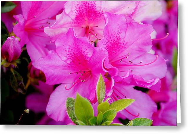 Greeting Card featuring the photograph Pretty In Pink by Laura DAddona