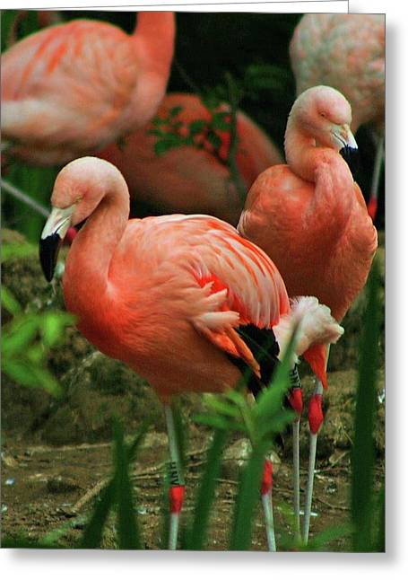 Pretty In Pink Greeting Card by Martina Fagan