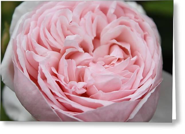 Pretty In Pink Greeting Card by Sabina Thomas