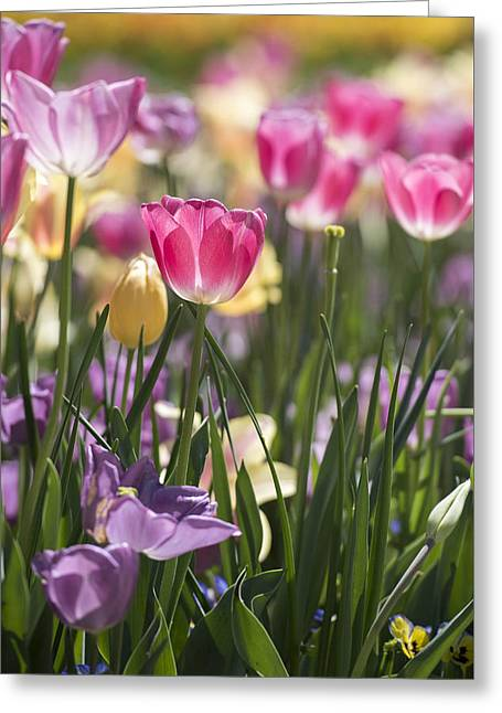 Pretty In Pink Tulips Greeting Card