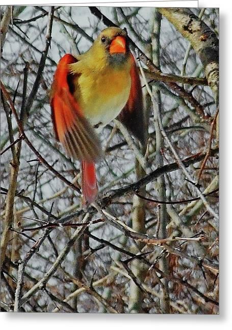 Pretty Mrs. Cardinal Greeting Card