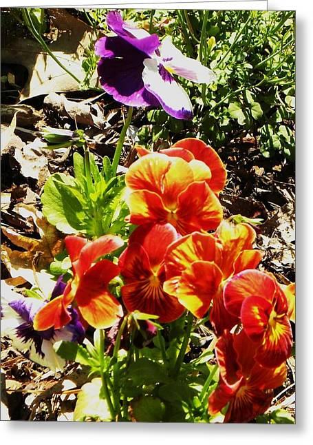 Pretty Pansies Greeting Card by Cindy Gacha