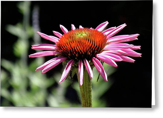 Pretty Pink Coneflower Greeting Card by Rona Black