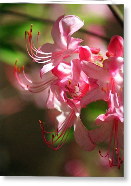 Pretty Pink Greeting Card by Marty Koch