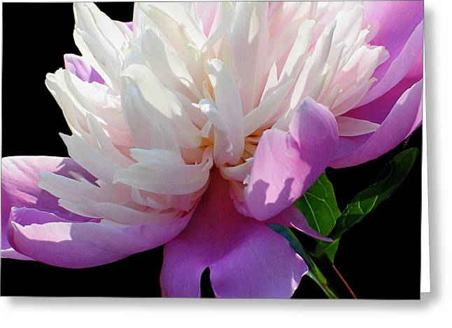 Pretty Pink Peony Flower Wall Art Greeting Card