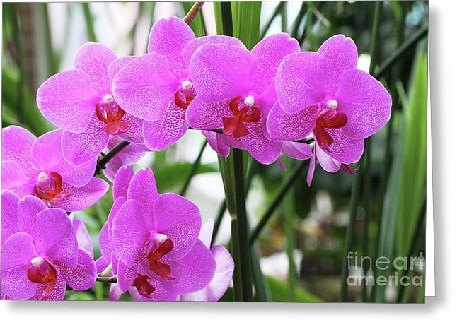 Pretty Pink Phalaenopsis Orchids #2 Greeting Card