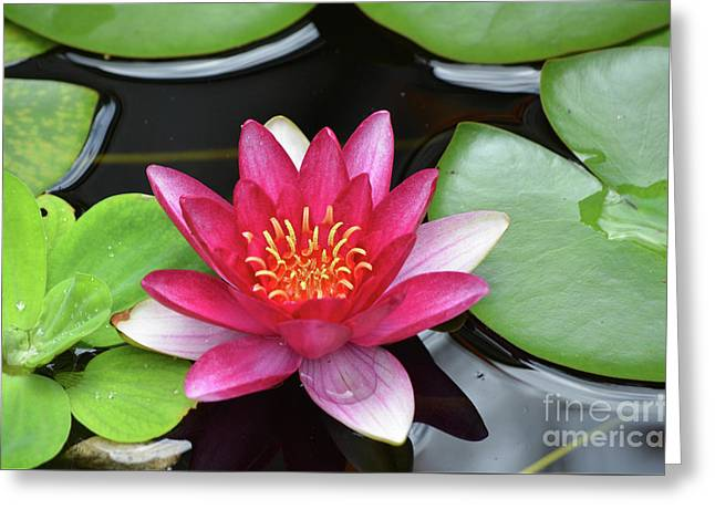 Pretty Red Water Lily Flowering In A Water Garden Greeting Card