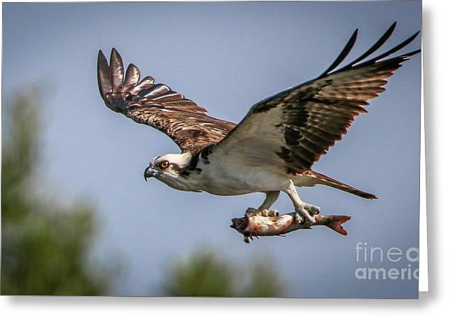 Greeting Card featuring the photograph Prey In Talons by Tom Claud