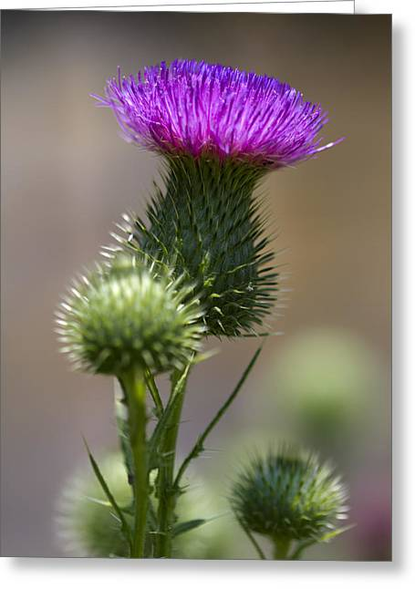 Prickley Bull Thistle Wildflowers - Cirsium Vulgare  Greeting Card by Kathy Clark