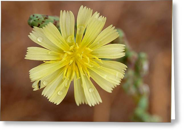 Prickly Lettuce Flower - Lactuca Serriola Greeting Card