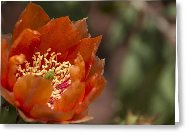 Greeting Card featuring the photograph Prickly Pear Bloom by Laura Pratt