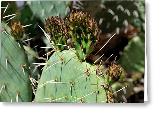 Prickly Pear Buds Greeting Card