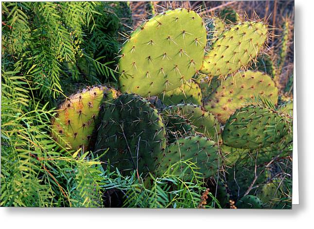 Prickly Pear Cactus And Pepper Tree Greeting Card by Soli Deo Gloria Wilderness And Wildlife Photography