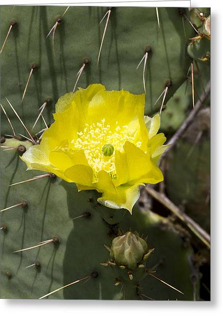Prickly Pear Cactus Blossom - Opuntia Littoralis Greeting Card