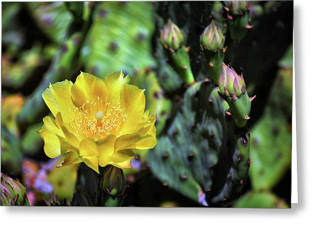 Prickly Pear Cactus Flower On Assateague Island Greeting Card