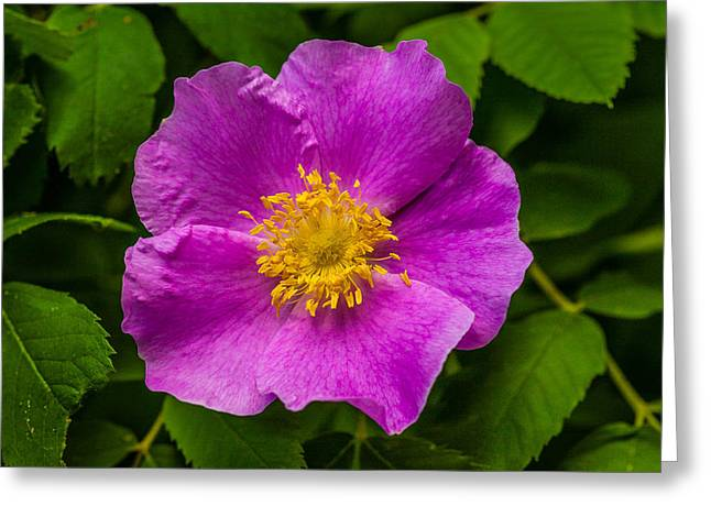 Prickly Wild Rose Greeting Card by Le Phuoc