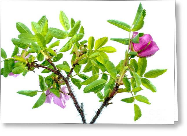 Prickly Wild Rose Rosa Acicularis Isolated Greeting Card by Stephan Pietzko