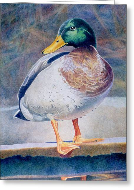 Pride - Male Mallard Greeting Card