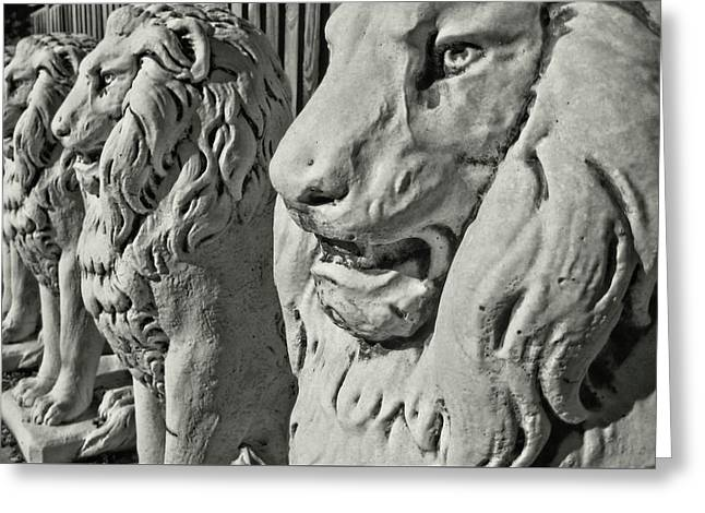 Pride Of Lions Greeting Card by JAMART Photography