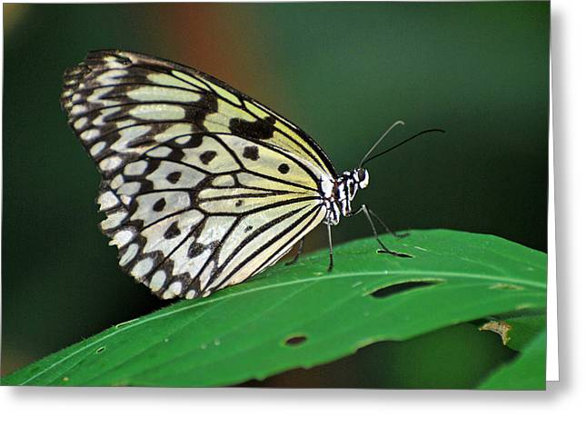 Greeting Card featuring the photograph Prince Of The Flower  by Teresa Blanton
