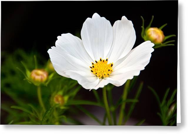 Pristine Poppy Greeting Card
