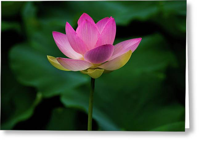 Greeting Card featuring the photograph Profile Of A Lotus Lily by Dennis Dame