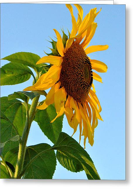 Profile Of A Sunflower Greeting Card by Kathleen Sartoris