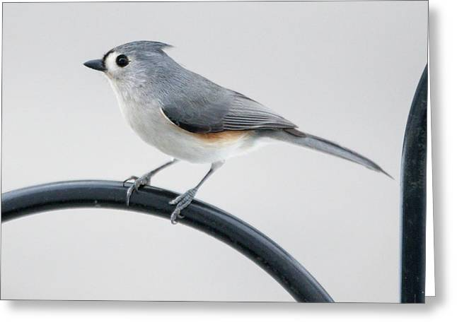 Greeting Card featuring the photograph Profile Of A Tufted Titmouse by Darryl Hendricks