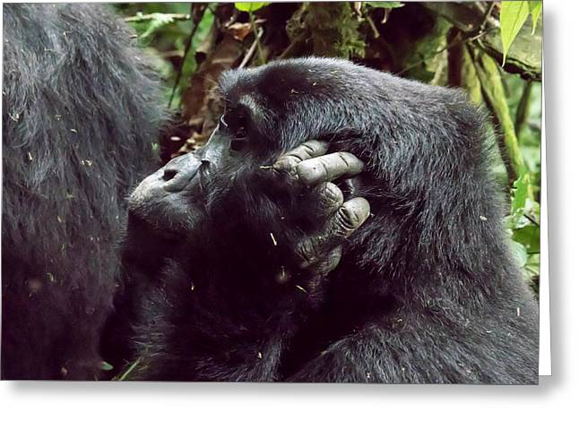 Profile Of Female Mountain Gorilla, Bwindi Impenetrable Forest N Greeting Card