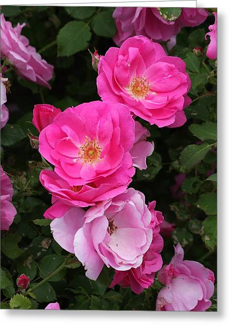 Greeting Card featuring the photograph Profusion Of Pink by Doris Potter