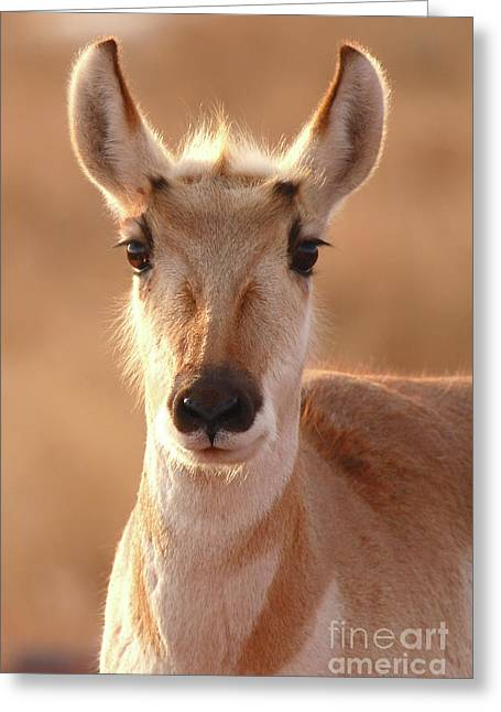 Greeting Card featuring the photograph Pronghorn Antelope Doe In Soft Light by Max Allen