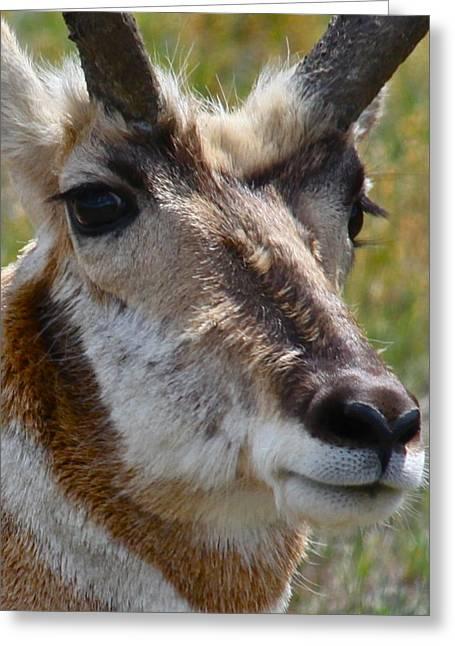 Pronghorn Greeting Cards - Pronghorn Buck face study Greeting Card by Karon Melillo DeVega