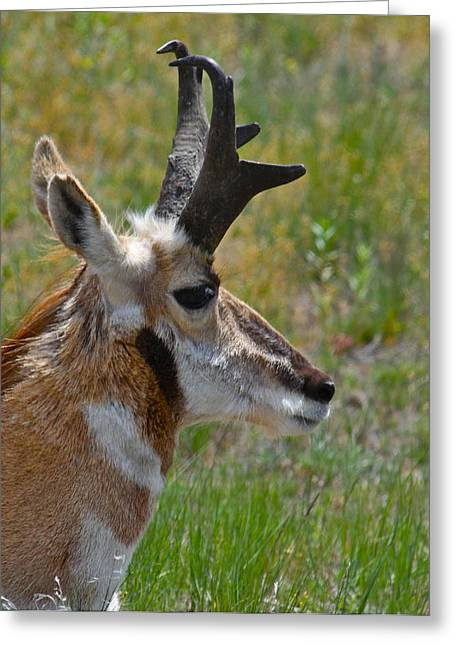 Pronghorn Greeting Cards - Pronghorn Buck profile Greeting Card by Karon Melillo DeVega