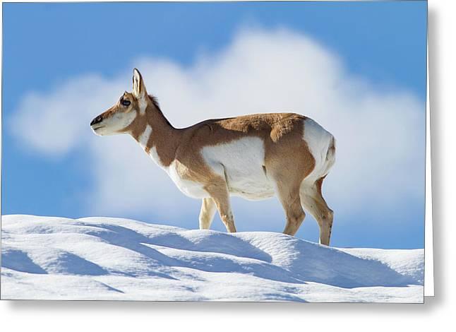 Pronghorn Doe On Snowy Ridge Greeting Card