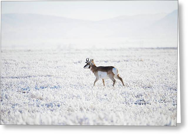 Pronghorn In The Hoar Frost Greeting Card by Jerry Voss